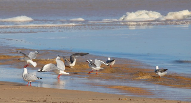 Seagull Surf