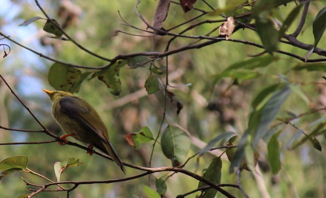 The Bellbird, Native  to Redhead Bushland