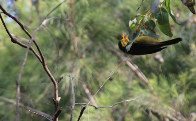 The Bellbird, Native to the Redhead Bushland #2