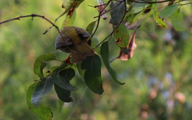The Bellbird, Native to the Redhead Bushland #3