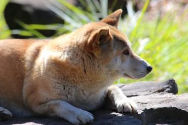 Australian Dingo #2