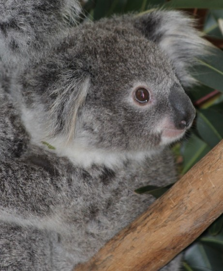Prtrait of a Baby Koala