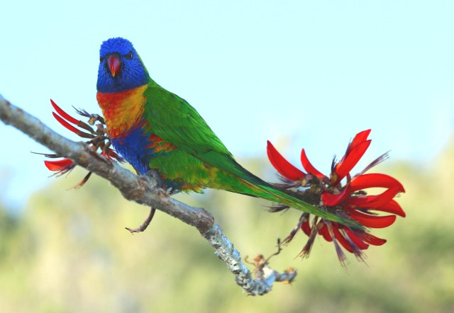 Lorikeet in Coral Tree