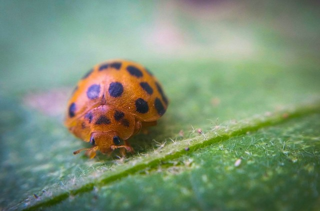 Lady Beetle 3.jpg